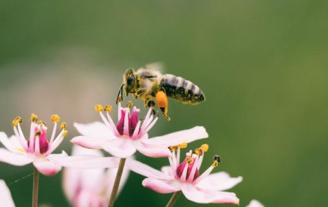 A bee pollinating flowers.