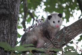An adult opossum in a tree with it's babies.